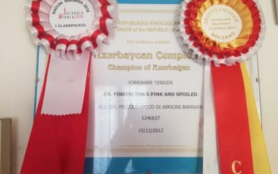 Campione Azerbaijan – Yorkshire Terrier