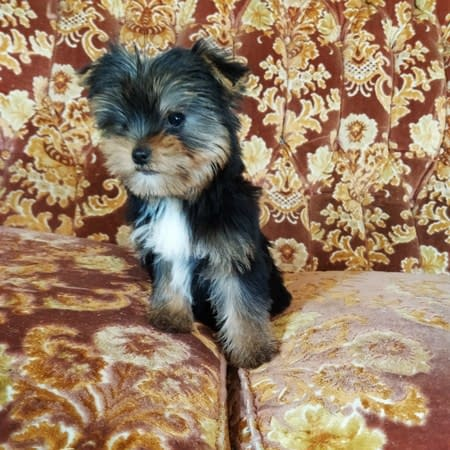 yorkshire terrier in vendita