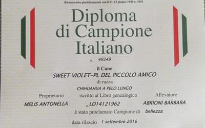 Diploma di Campione Italiano – Chihuahua