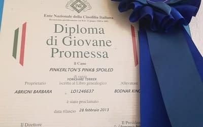 Diploma di campione europeo Spitz da compgnia copia
