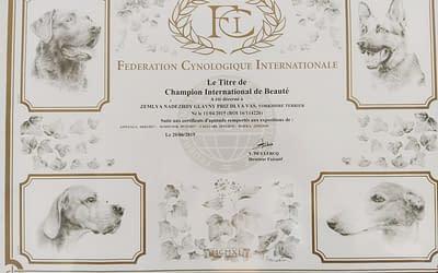 Diploma Campione Internazionale- Yorkshire Terrier